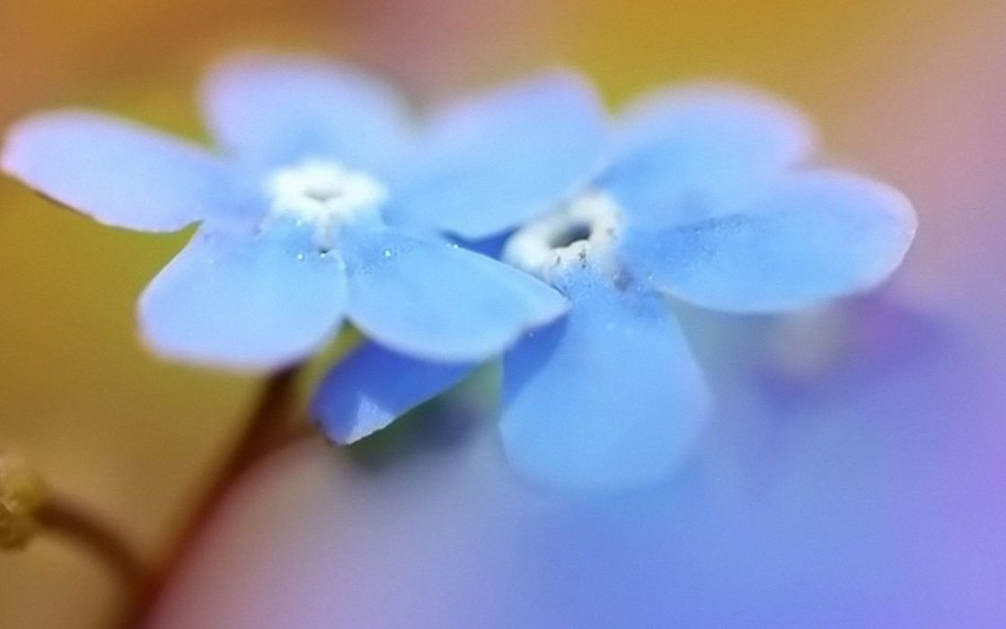 nature flowers Forget-me-nots blue flowers wallpaper