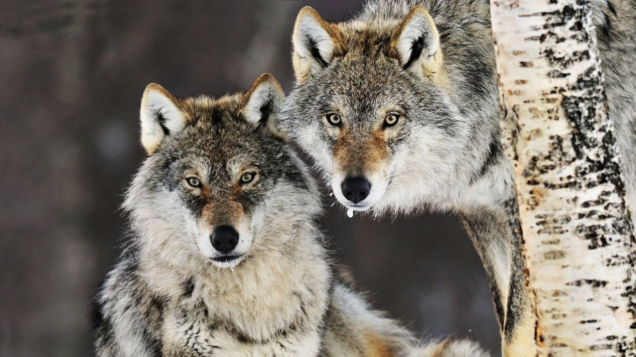 animals Norway gray wolf wolves wallpaper