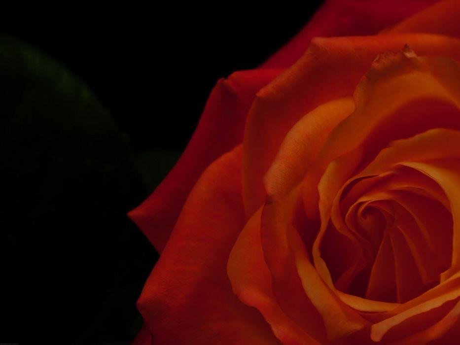 red flowers roses wallpaper