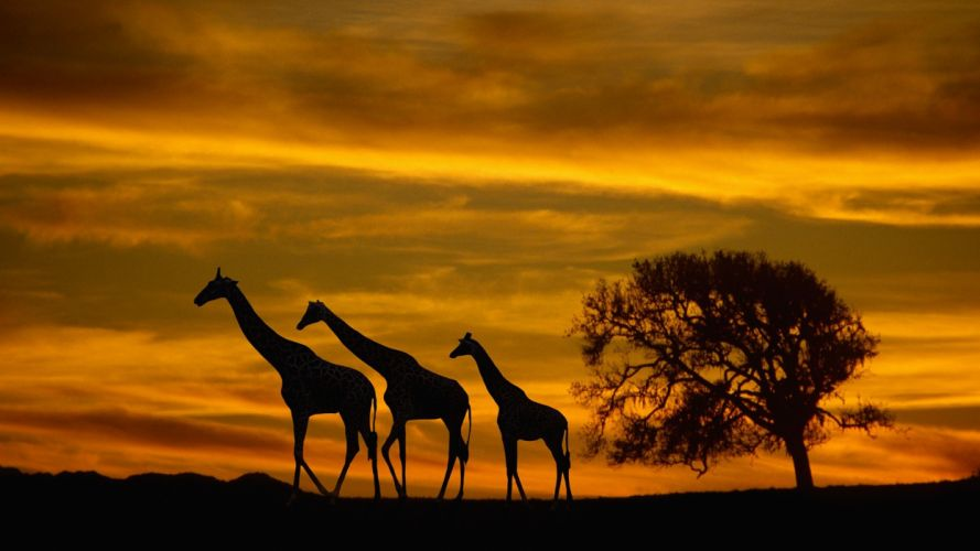 sunset giraffes wallpaper
