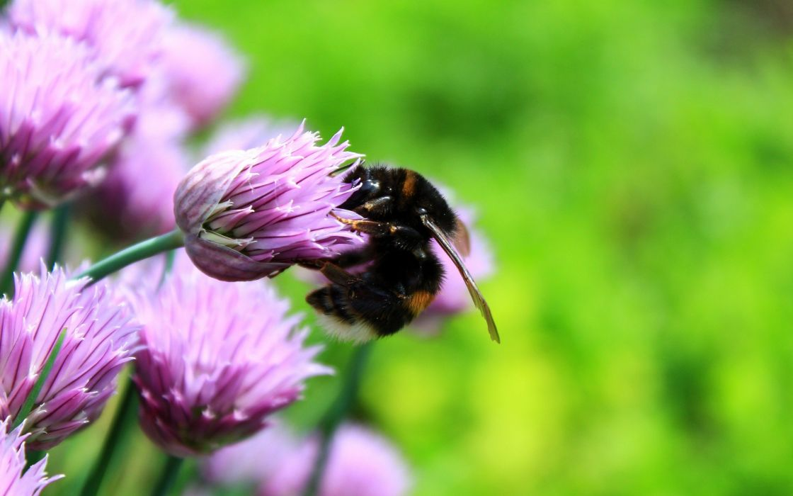 flowers insects bees pink flowers wallpaper