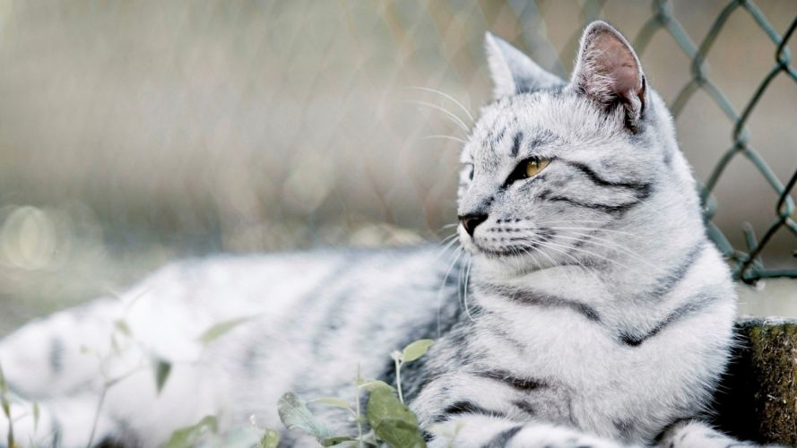 white cats animals wallpaper