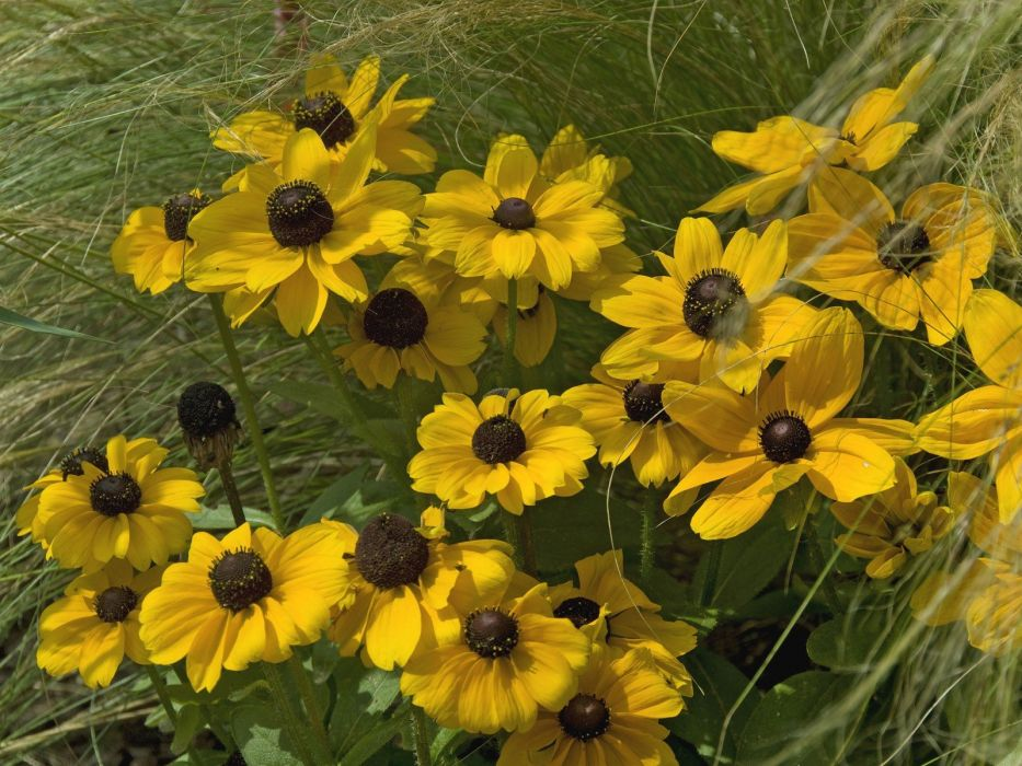 flowers yellow flowers Rudbeckia wallpaper