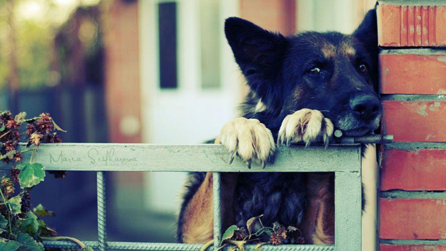eyes animals dogs German Shepherd paws bored wallpaper