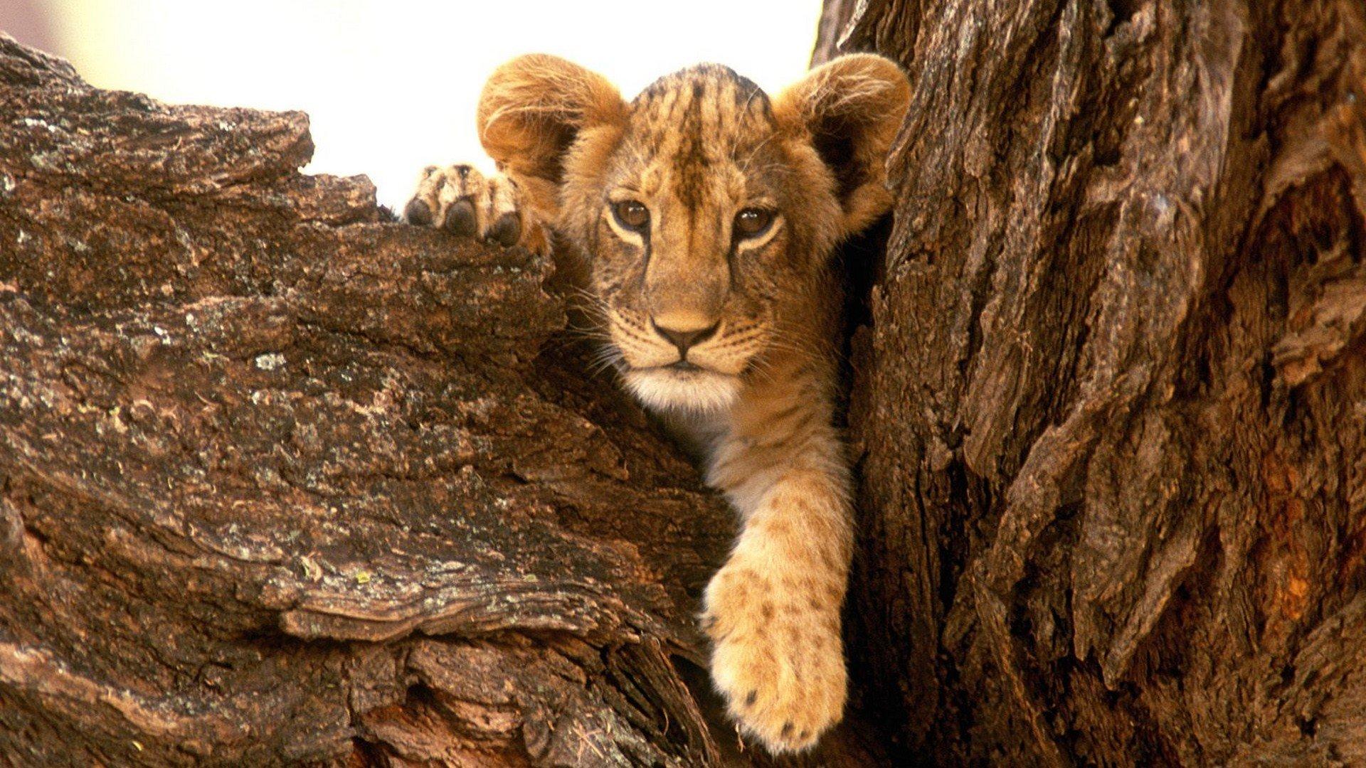 Nature Animals Wildlife Lions Furry Baby Wallpaper