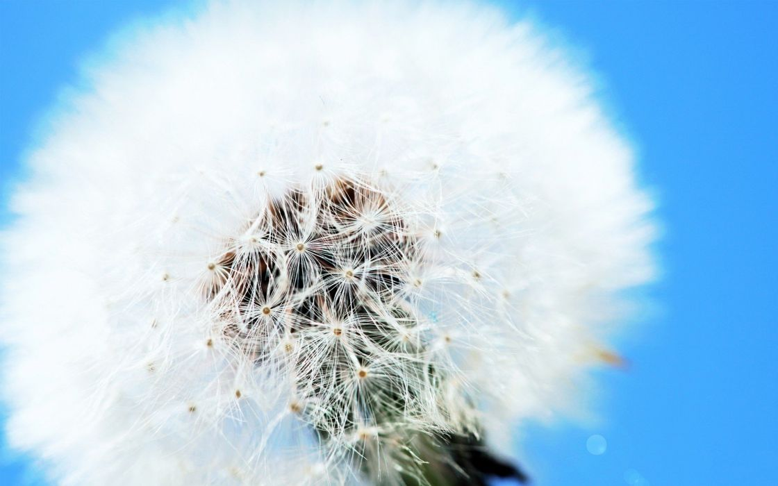 white flowers dandelions skyscapes wallpaper