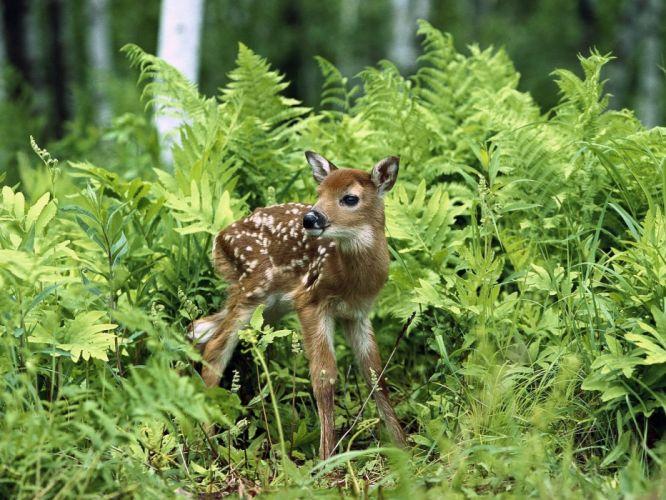 animals deer fawn baby animals wallpaper