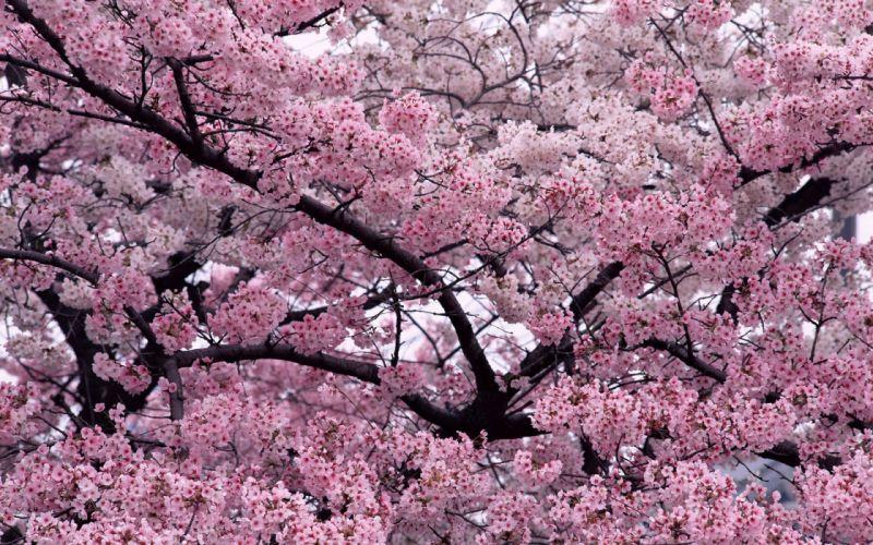 blossoms cherries wallpaper