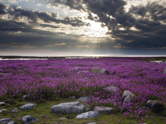 landscapes flowers fields wallpaper