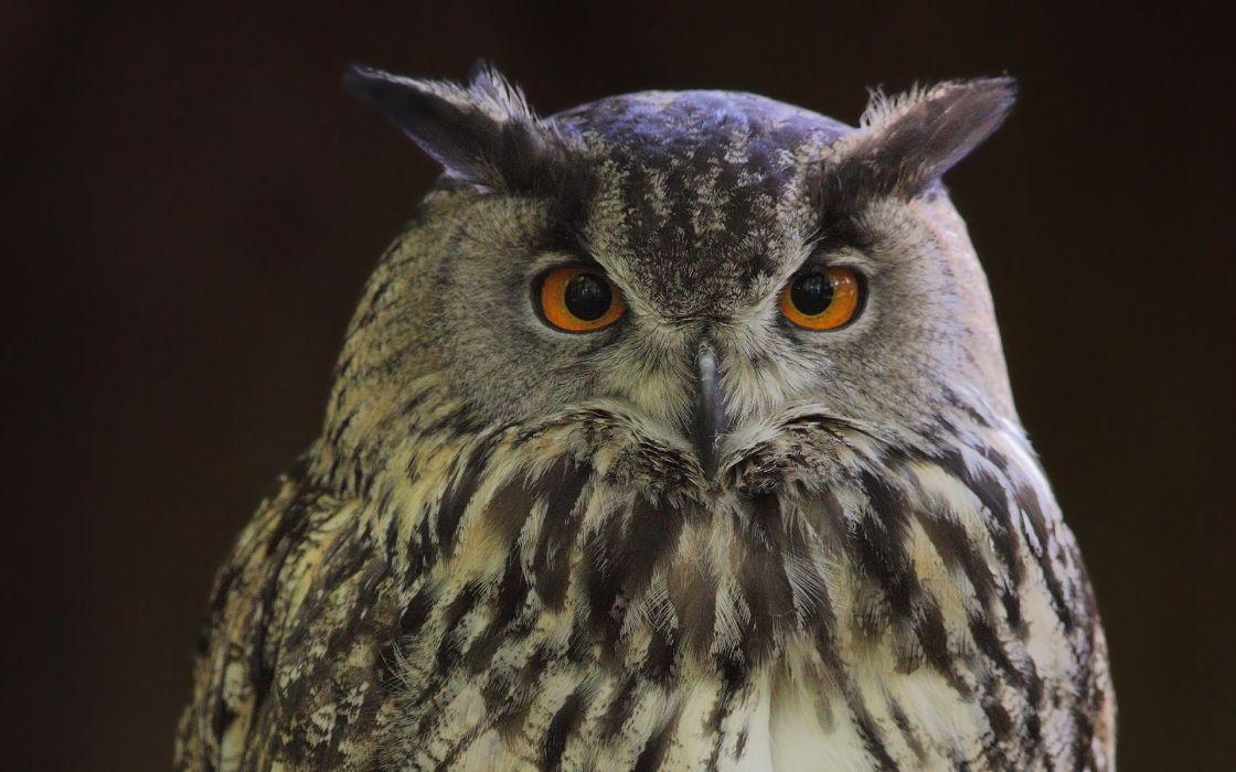 owls wallpaper