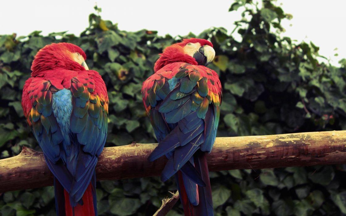 birds parrots Scarlet Macaws Macaw wallpaper