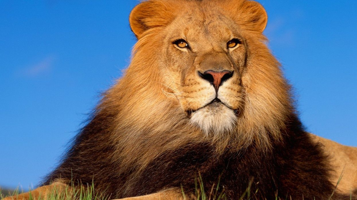 animals lions mammals wallpaper