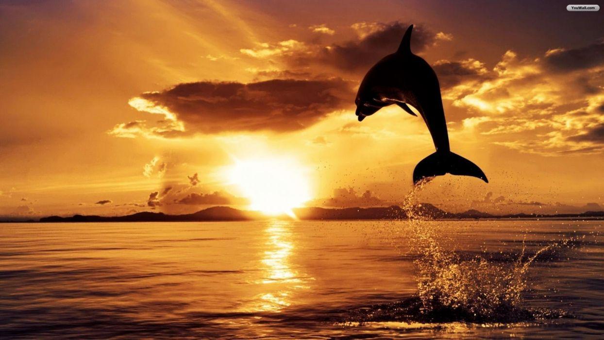 sunset ocean dolphins jump wallpaper