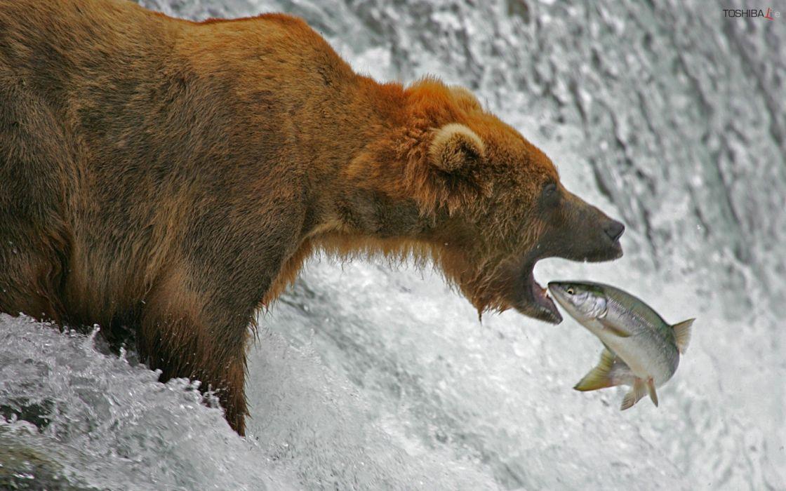 nature animals fish bears wallpaper