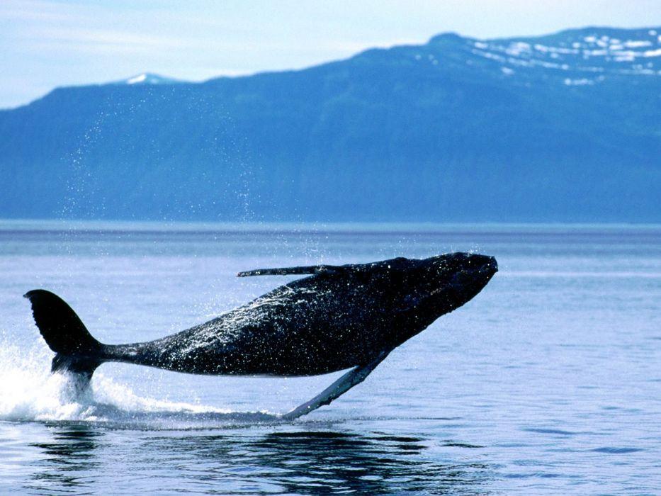 ocean jumping whales wallpaper