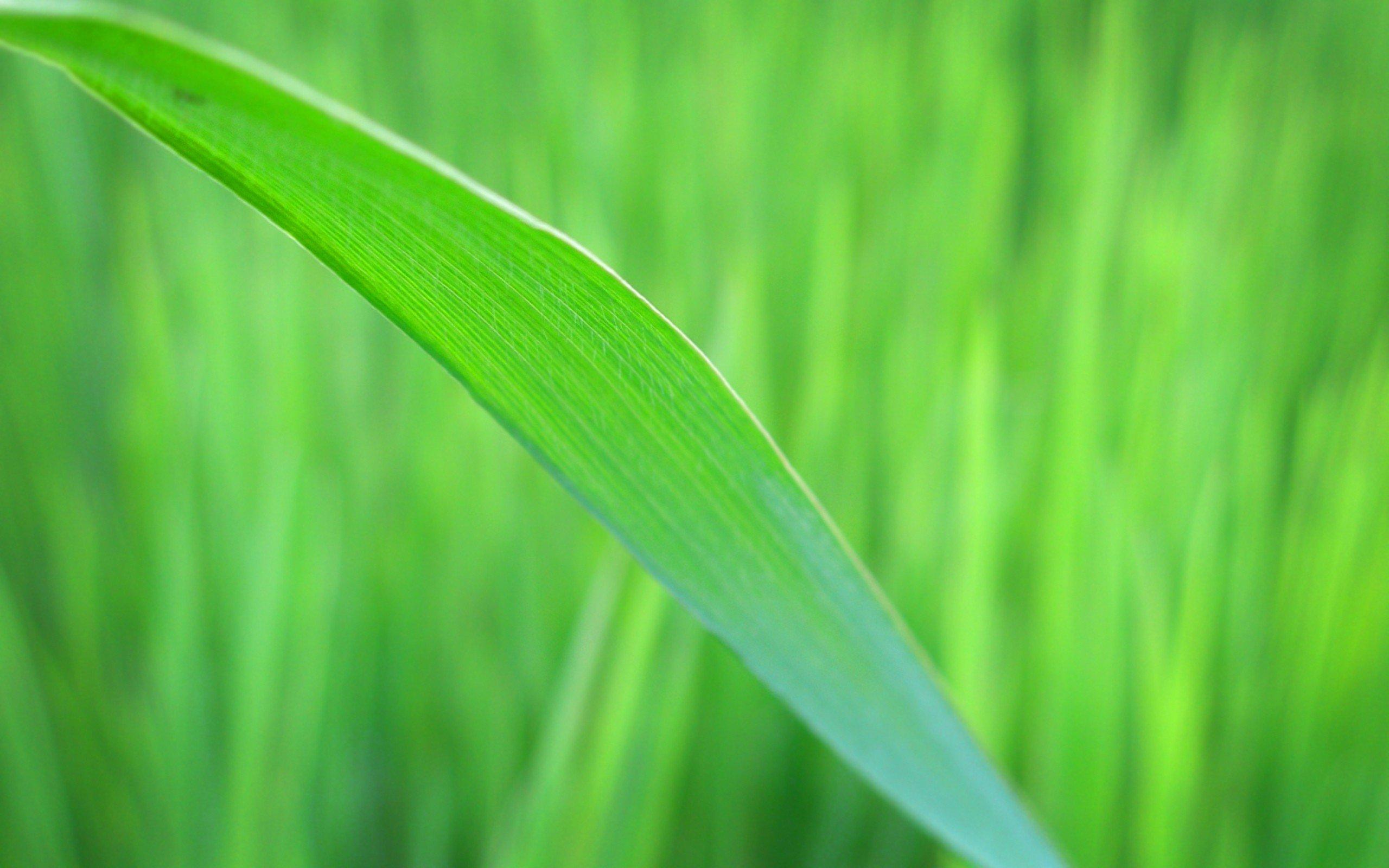 Grass Blade Close Up