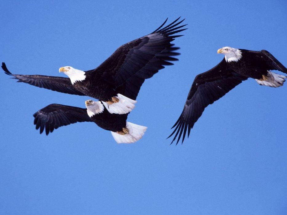 birds eagles bald eagles wallpaper