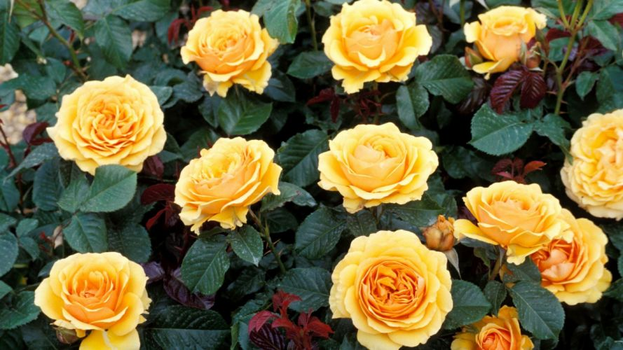roses yellow rose yellow flowers wallpaper