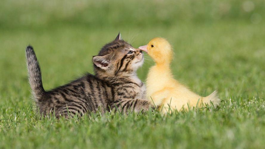 birds cats animals ducks duckling kittens baby birds wallpaper