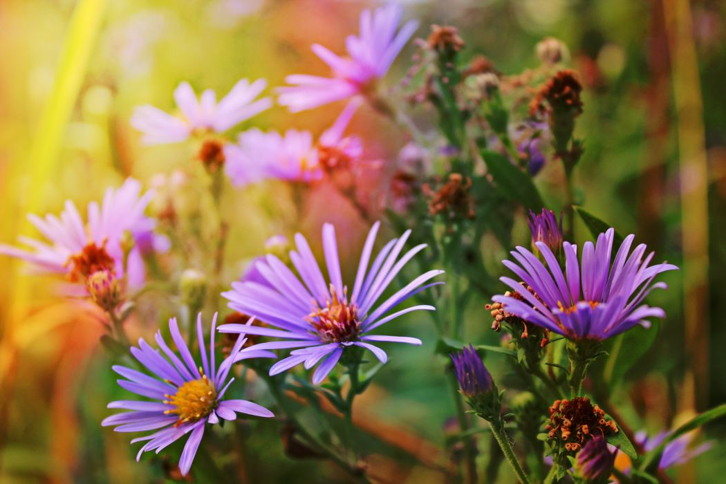 Asters Flowers wallpaper