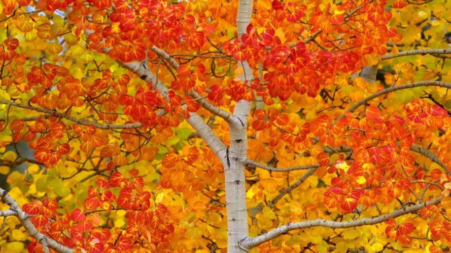 autumn tree f wallpaper