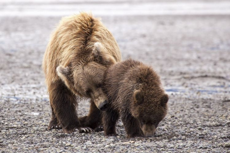 bear mother baby baby couple family kindness caring motherhood wallpaper