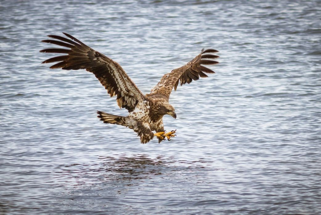 bird predator flight wings water river attack fishing eagle wallpaper