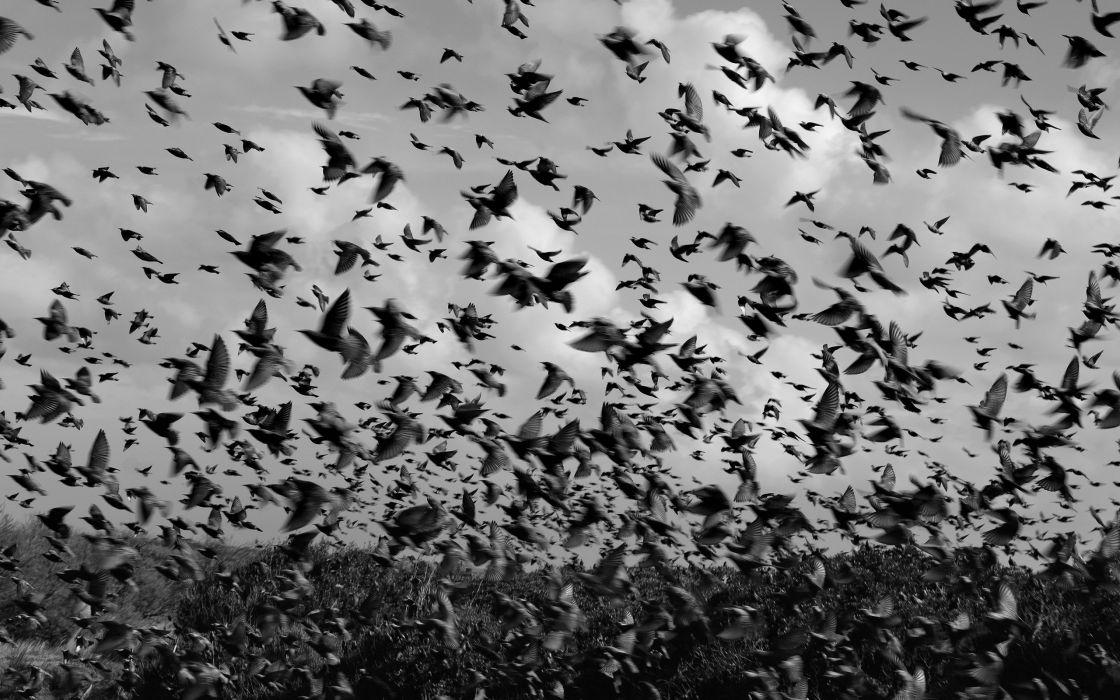 Birds BW wallpaper