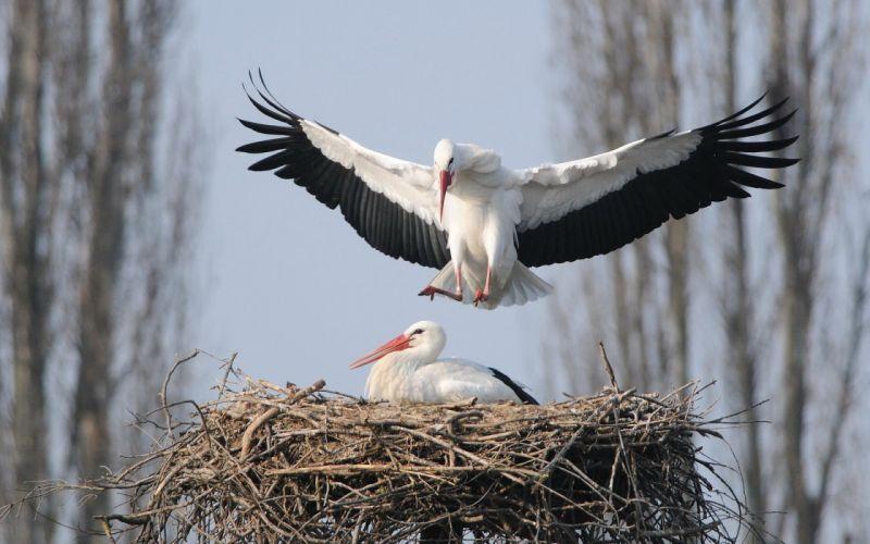 birds storks nature wallpaper