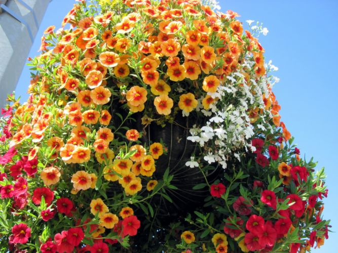 Calibrachoa Many Orange Flowers wallpaper