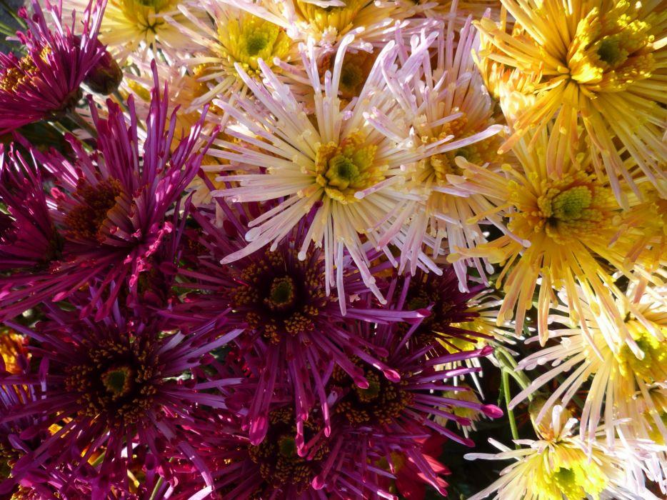 Chrysanthemums Closeup Wine color Flowers wallpaper