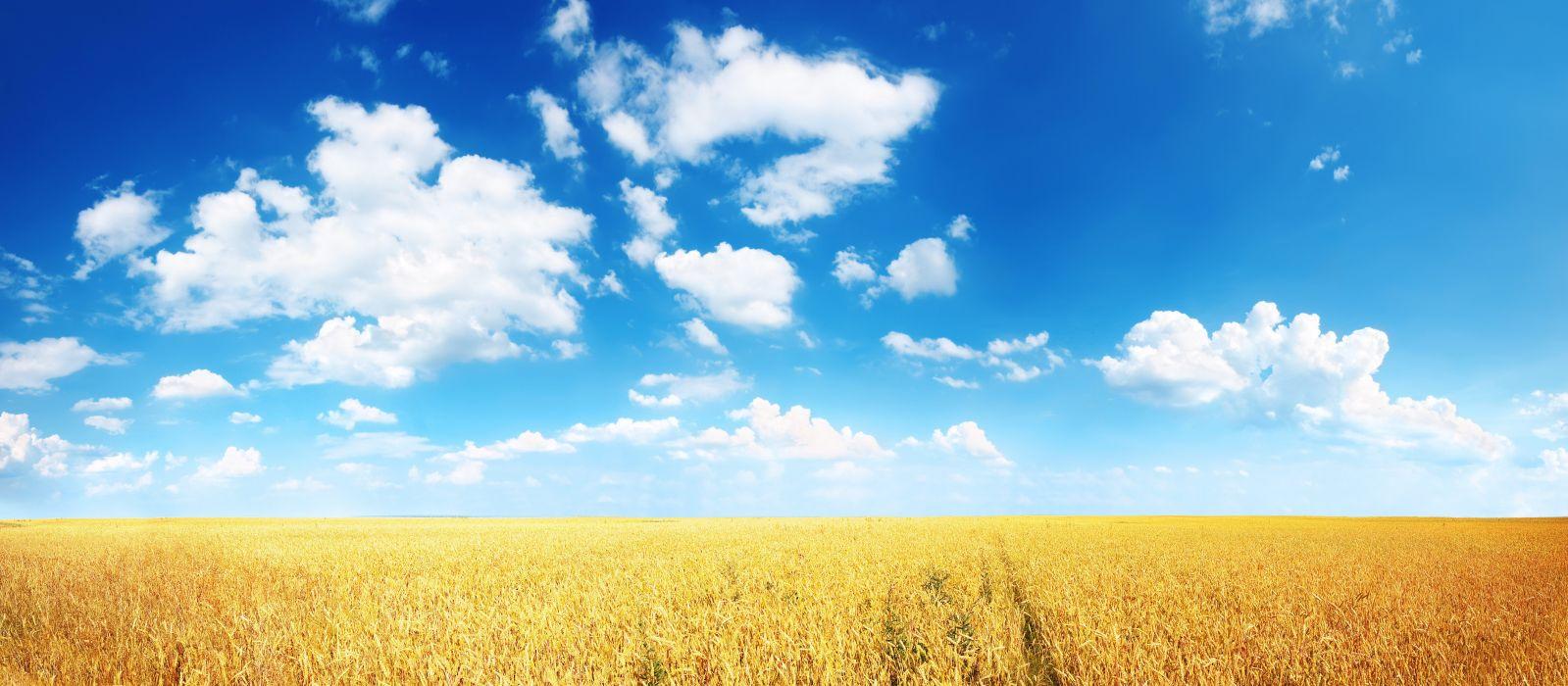 field ears plain wheat Cornfield wallpaper