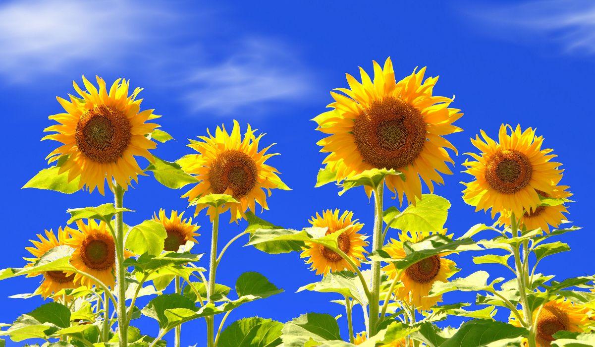 field sunflower wallpaper