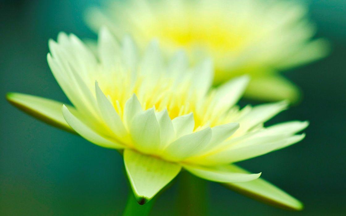 flower flower macro yellow bokeh macro wallpaper