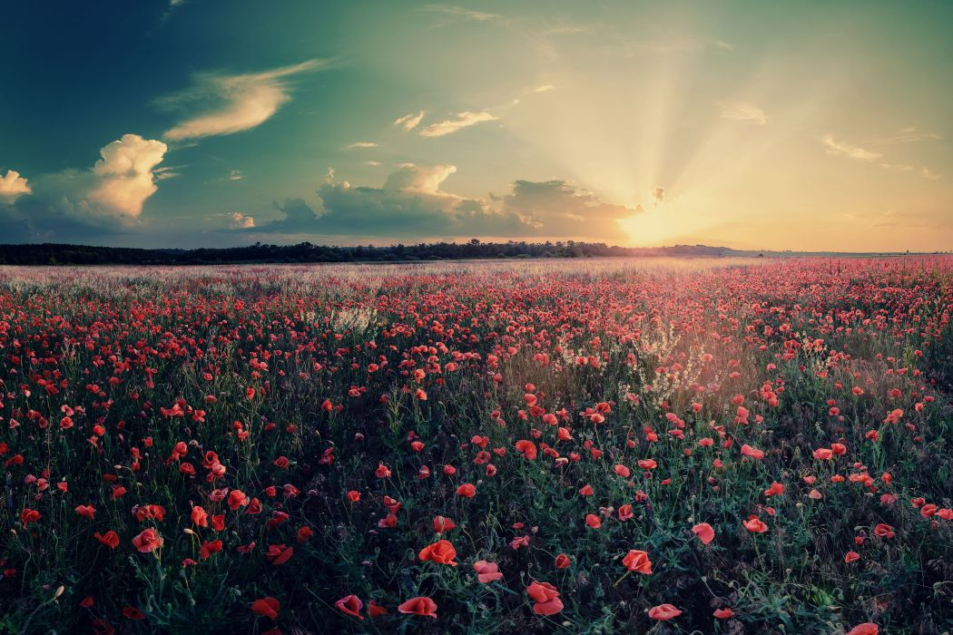 flowers field landscape nature sunrise sunset wallpaper