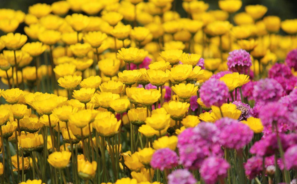 flowers field pink yellow wallpaper