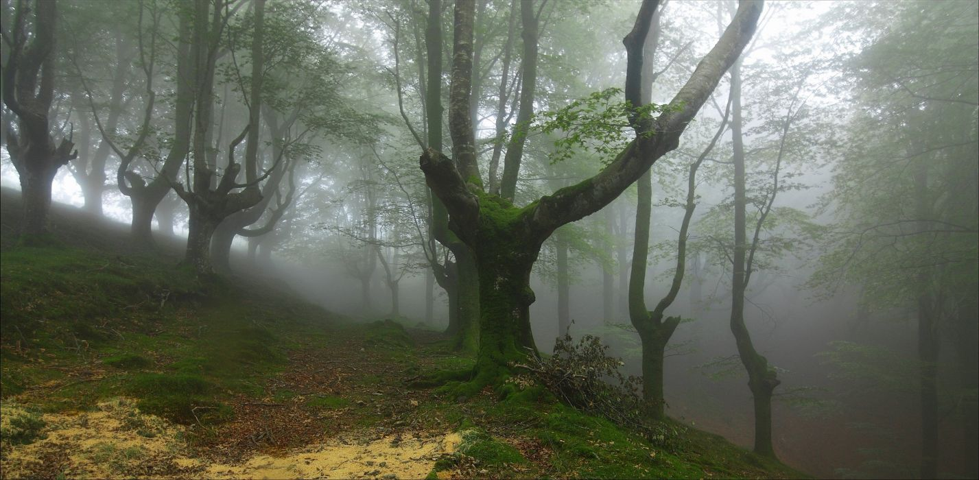 forest trees fog nature wallpaper
