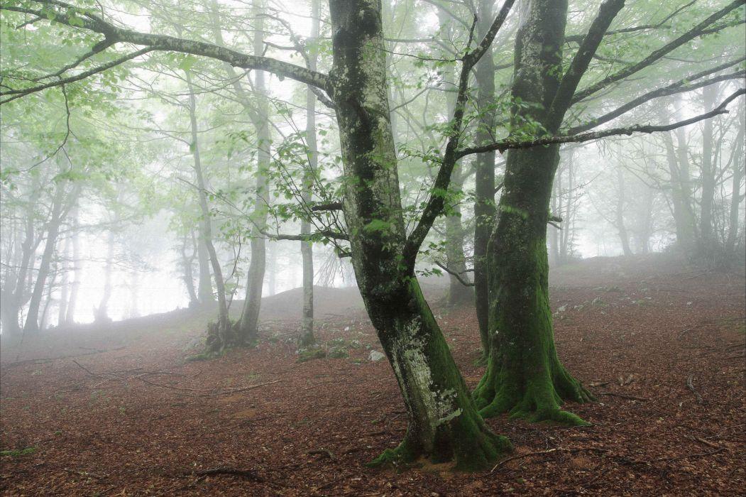 forest trees fog wallpaper