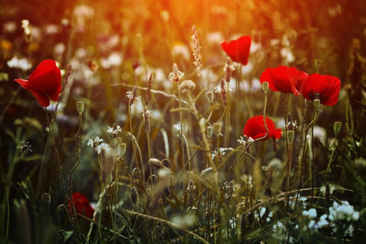 garden poppy poppies wallpaper