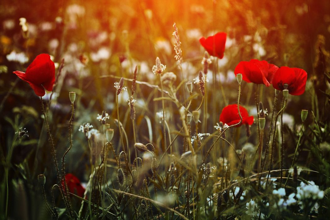 garden poppy poppies wallpaper