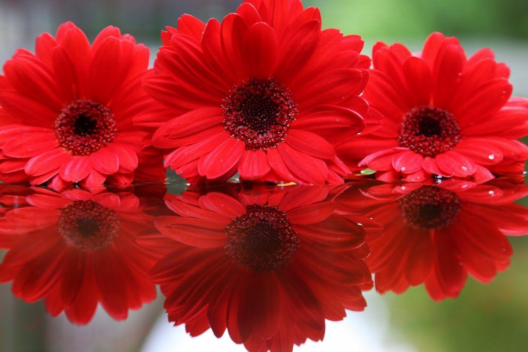 Gerberas Red Flowers wallpaper