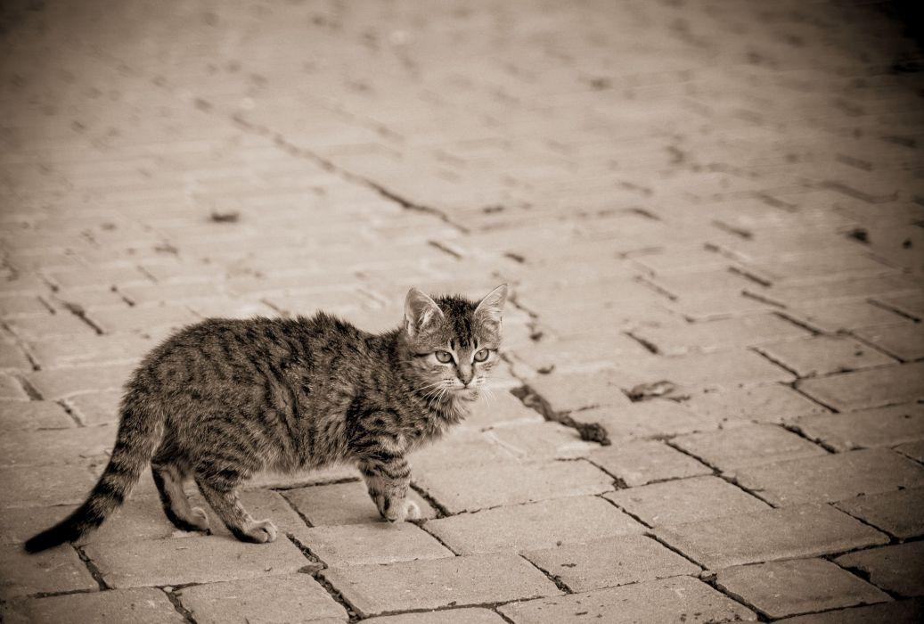 gray street kitten cat wallpaper