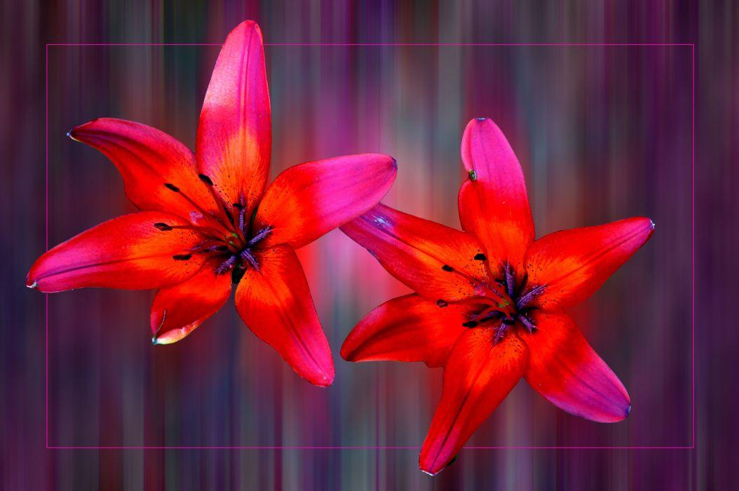 lilies flowers flora wallpaper