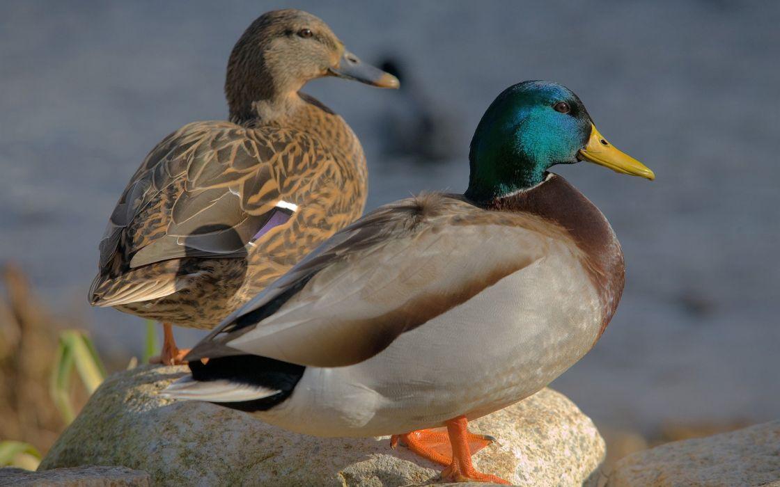 nature birds ducks mallard animal world wallpaper