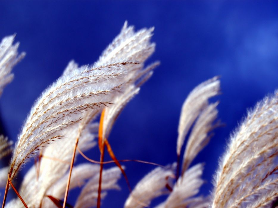 nature spikelets wallpaper