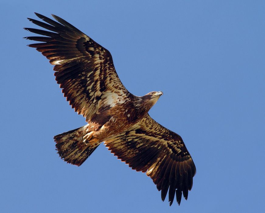 predator wings bird eagle flapping eagle wallpaper