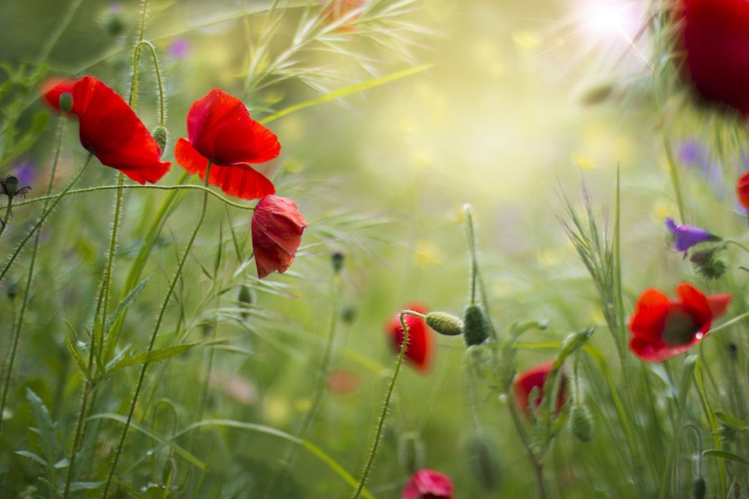 red grass field flowers poppies summer poppy wallpaper
