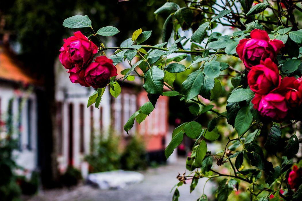 Roses Shrubs Flowers wallpaper