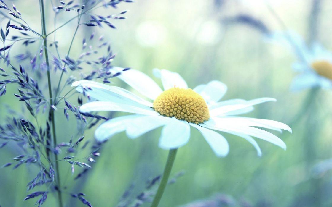 soft macro daisy daisies wallpaper