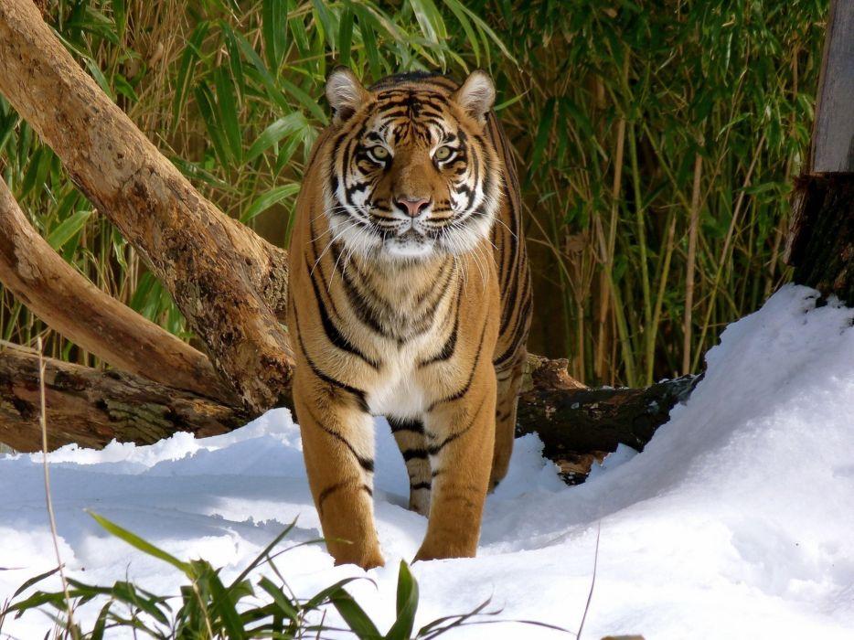 tiger wild cat predator snow winter wallpaper